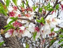 Fleurs d'amande Photographie stock
