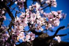Fleurs d'amande Images libres de droits