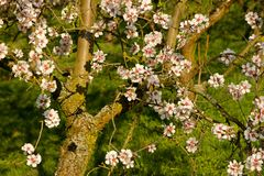 Fleurs d'amande photos stock