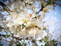 Fleurs d'amande avec son fruit Image stock
