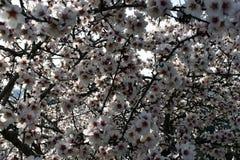 Fleurs d'amande en hiver image libre de droits