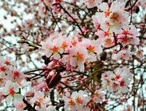 Fleurs d'amandes image libre de droits