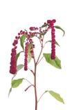 Fleurs d'amaranthe d'isolement images stock
