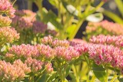 Fleurs d'amaranthe de globe avec l'art coloré de bokeh Images stock
