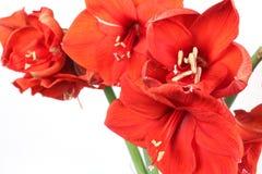 Fleurs d'Amarillis sur le fond blanc Photographie stock libre de droits