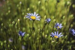 Fleurs d'amelloides de felicia de marguerite bleue Photographie stock