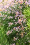 Fleurs d'amellus d'aster dans le jardin Images libres de droits