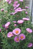 Fleurs d'amellus d'aster sur le fond brouillé Image stock
