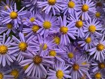 Fleurs d'amellus d'aster Photo libre de droits