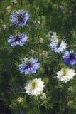 fleurs d'Amour-dans-un-brume et têtes de graine Photo stock