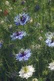 fleurs d'Amour-dans-un-brume et têtes de graine Images libres de droits