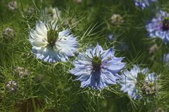 fleurs d'Amour-dans-un-brume et têtes de graine Photos libres de droits