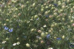 fleurs d'Amour-dans-un-brume et têtes de graine Photographie stock libre de droits