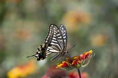 Fleurs d'amour de papillon Photo libre de droits