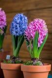 Fleurs d'ampoule de ressort dans le pot photo libre de droits