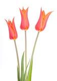 Fleurs d'ampoules de tulipes de fleur de tulipe Photo libre de droits
