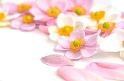 Fleurs d'anémone image stock