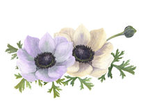 Fleurs d'anémone d'aquarelle Illustration florale tirée par la main avec le fond blanc Photographie stock