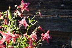 Fleurs d'ancolie contre le mur en bois Photo stock