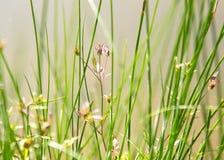 Fleurs d'andd'herbe sur le lac Images libres de droits