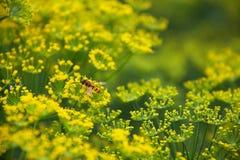 Fleurs d'aneth Photographie stock libre de droits