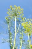 Fleurs d'aneth Images libres de droits