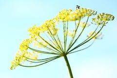 Fleurs d'aneth Photographie stock