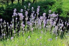 Fleurs d'angustifolia de Lavandula Photos libres de droits