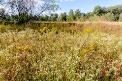 Fleurs d'Annuus d'Erigeron photos libres de droits