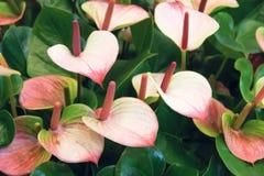 Fleurs d'anthure Photographie stock libre de droits