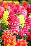 Fleurs d'Antirrhinum Photographie stock