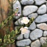 Fleurs d'apiculata de Luma et de x28 ; Myrtle& chilien x29 ; , Myrtaceae Photos stock