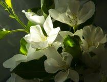 Fleurs d'Apple à la nuance image stock