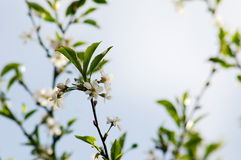 Fleurs d'Apple Photos libres de droits