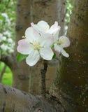 Fleurs d'Apple Images libres de droits