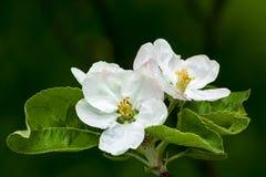Fleurs d'Apple Photographie stock