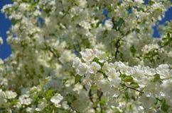 Fleurs d'Apple Image libre de droits