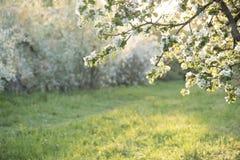 Fleurs d'Apple au-dessus de fond brouillé de nature Juste plu en fonction Images libres de droits