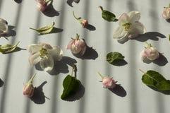 Fleurs d'Apple sur un fond gris Fond des fleurs de source Photographie stock