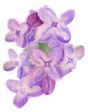 Fleurs d'aquarelle de lilas Photo libre de droits