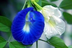 Fleurs d'arachide de Pinto Photographie stock