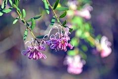 Fleurs d'araignée roses, sericea de Grevillea Photo libre de droits