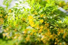 Fleurs d'arborescens de Caragana Photo libre de droits