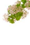 Fleurs d'arbre Images libres de droits
