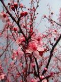 Fleurs d'arbre Photo libre de droits