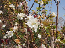 Fleurs d'arbre Photos libres de droits