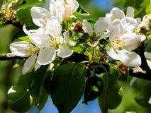Fleurs d'arbre Photos stock