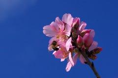 Fleurs d'arbre d'amande Photographie stock