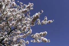 Fleurs d'arbre d'amande Image libre de droits