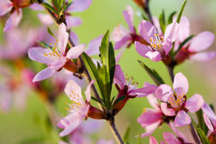Fleurs d'arbre d'amande Photo stock